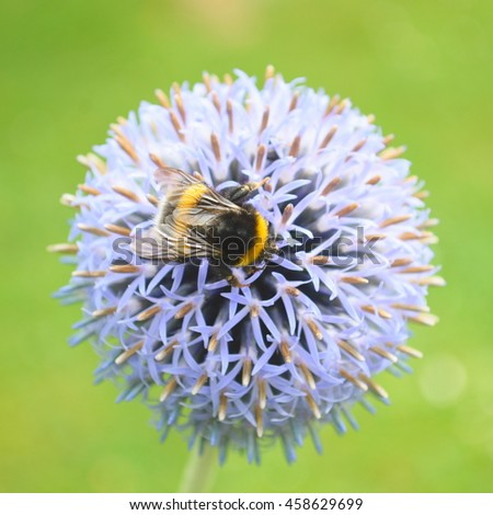 Bumblebee pollinating Echinops bannaticus commonly  known as blue globe-thistle - stock photo