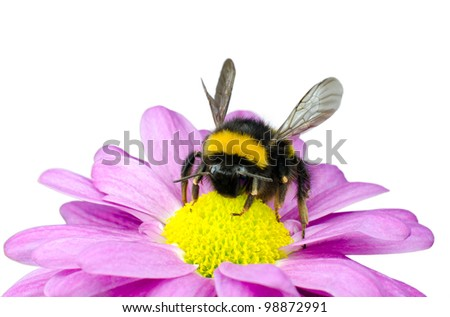 Bumblebee pollinating on Pink Daisy Flower Isolated on White Background - stock photo
