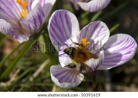 Bumblebee searches head over heels for nectar in a blue crocus blooming in spring - stock photo