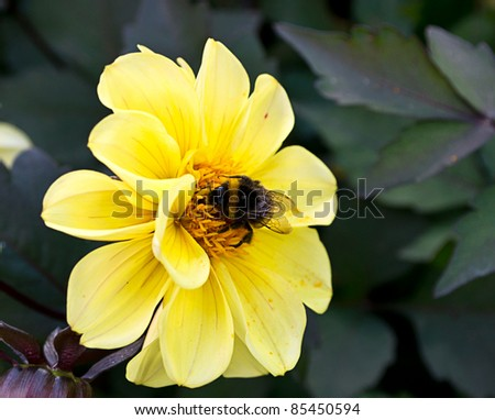 Bumblebee sitting on a yellow chrysanthemum flower - stock photo