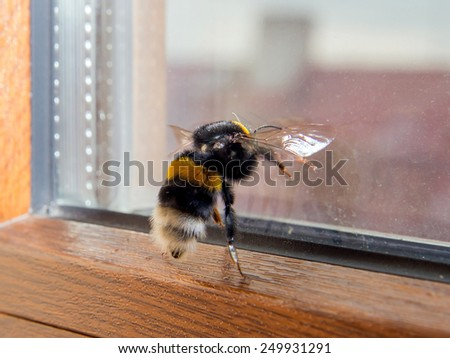 Bumblebee wants to fly through the window - stock photo