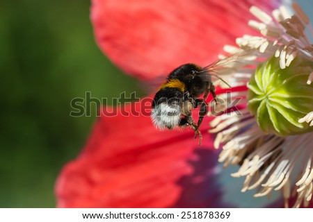 Bumblebee  with poppy flower - stock photo