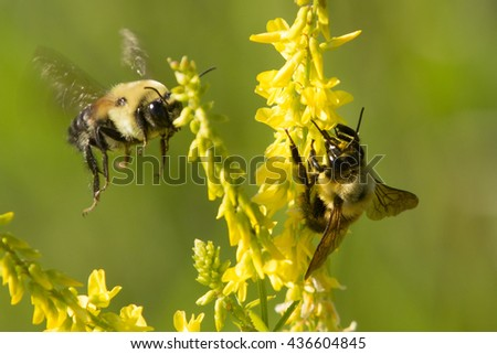 Bumblebees collecting pollen - stock photo