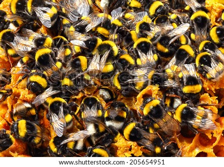 Bumblebees on honeycombs. Close up  - stock photo