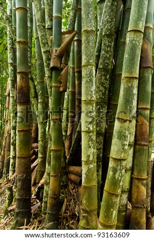 bumbusa vulgaris in the forest - stock photo