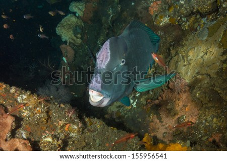 Bumphead parrot fish sleeping on shipwreck
