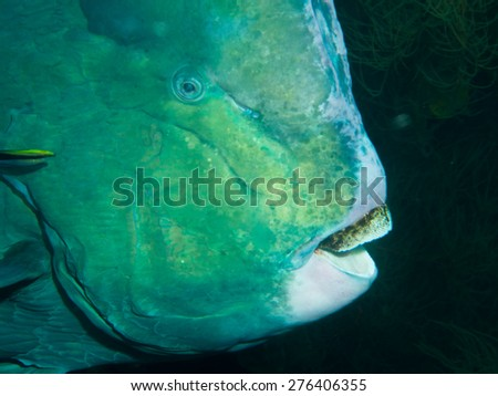 Bumphead Parrotfish on the Second World War USA Liberty Wreck in Tulamben,  Bali, Indonesia. The wreck is overgrown with corals and sponges and many species of fish live there. - stock photo