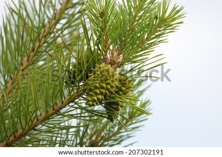 Bumps on the pine. - stock photo