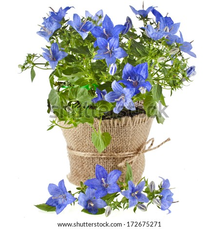 bunch bouquet of bellflowers in flowerpot  isolated on white background  - stock photo