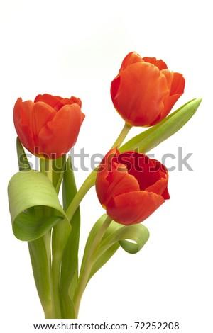 bunch bouquet of tulip flowers - stock photo