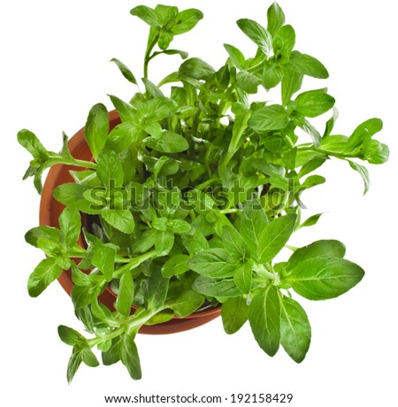 Bunch fresh green mint  growing in brown flower pot  top view isolated on white  - stock photo