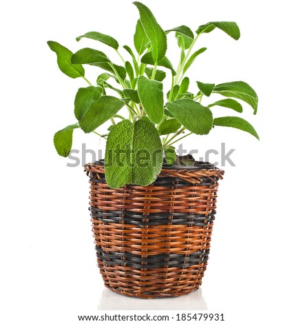 Bunch fresh green sage  growing in wicker pot isolated on white