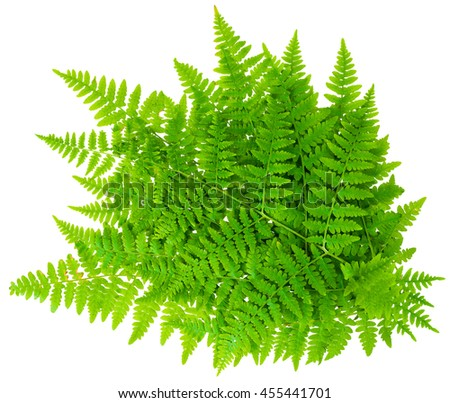 bunch leaf fern isolated on white background in macro lens shooting - stock photo