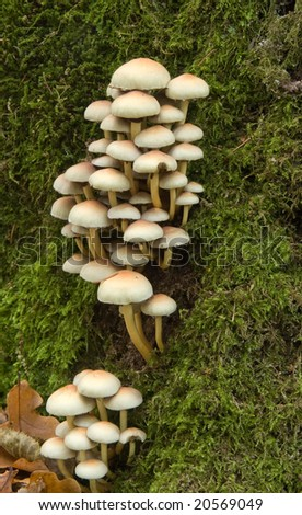 Bunch of autumnal fungi grows over mossy stump - stock photo