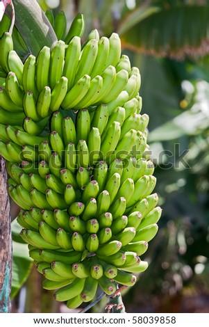 Bunch of Bananas from La Palma, Canary Islands - stock photo