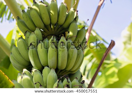 Bunch of bananas on tree.