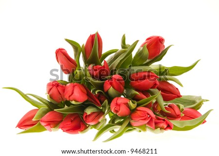 bunch of beautiful red tulips isolated on white