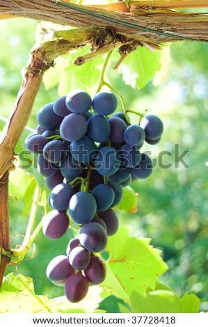 Bunch of black grape over green - stock photo