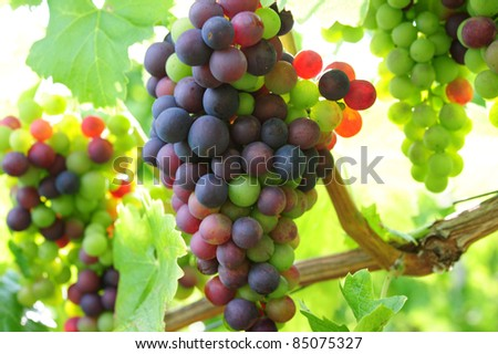 bunch of black grapes on a branch against the blue sky