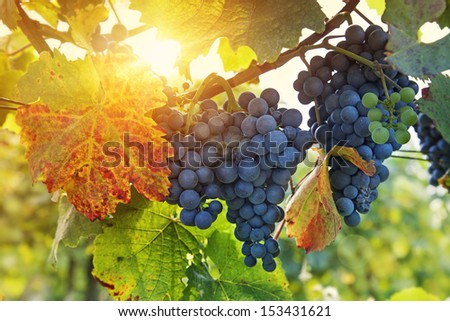 Bunch of black grapes on the vine - stock photo