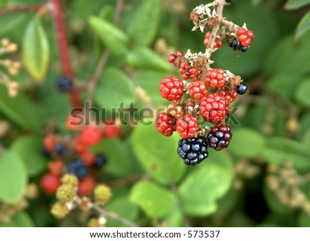 bunch of blackberries in focus against blurred background of other berries and leaves. - stock photo