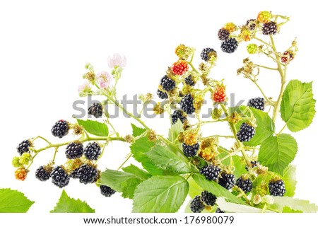 Bunch of blackberry branches with ripe blackberries isolated on white - stock photo
