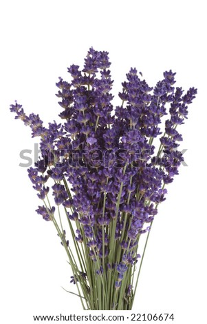 Bunch of blooming lavender on bright background