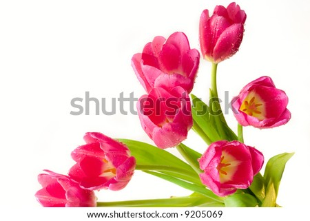 bunch of blooming purple tulips with dew drops over white