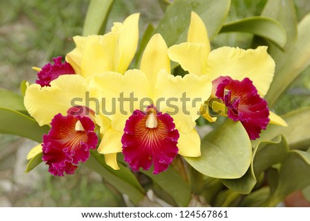 Bunch of blooming yellow orchids in the garden - stock photo