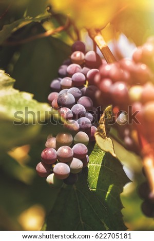 Bunch of blue grapes in a vineyard