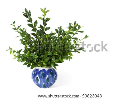Bunch of box twigs in a ceramic vase isolated on white.