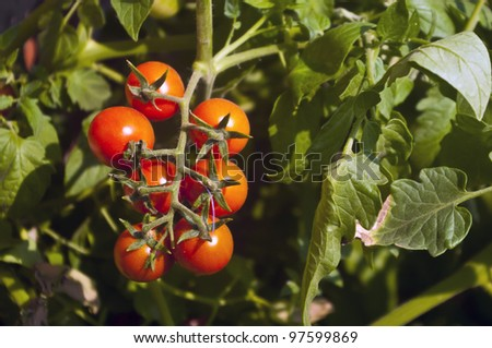 Bunch of bright red tomato on green background