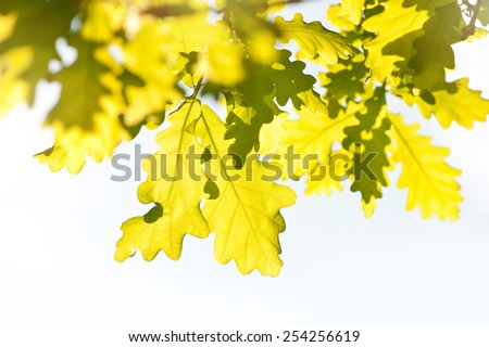 Bunch of bright vibrant green oak leaves in sunlight in spring season Oak is a tree or shrub in the genus Quercus. Photo taken in Poland, horizontal orientation, nobody. - stock photo