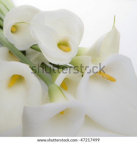Bunch of Cala Lilies in high key, soft light and a square composition - stock photo