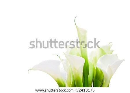 Bunch Of Calla Lilies isolated on white background.  Purity, innocence, fragility, concept. Space for copy. Also useful as invitation for celebrations as wedding or anniversary. With clipping path. - stock photo
