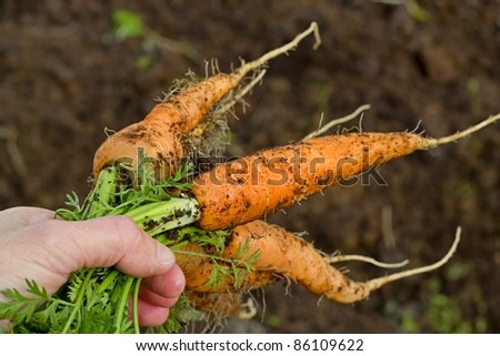 Bunch of carrots pulled from the vegetable garden - stock photo