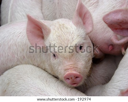 bunch of crowded little pigs - stock photo