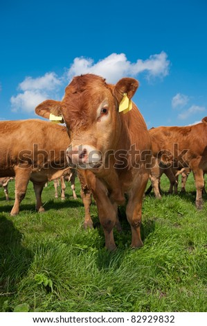 bunch of curious young limousine calves in a dutch meadow