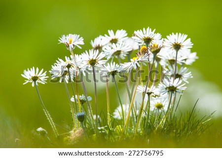 bunch of daisy flowers during springtime  - stock photo