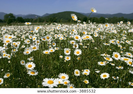 Bunch of daisy flowers in the field
