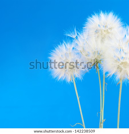 Bunch of dandelions on blue background. - stock photo