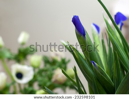 bunch of flowers blue irises closed bud  background of white anemones - stock photo
