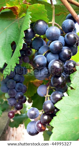 Bunch of fresh blue grapes on green leaf background,close-up