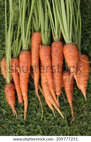 Bunch of fresh carrots - stock photo