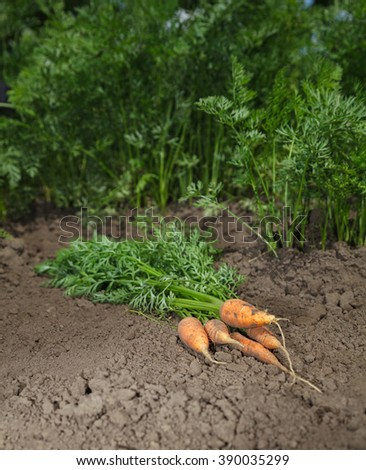 Bunch of fresh carrots with tops on vegetable patch  - stock photo