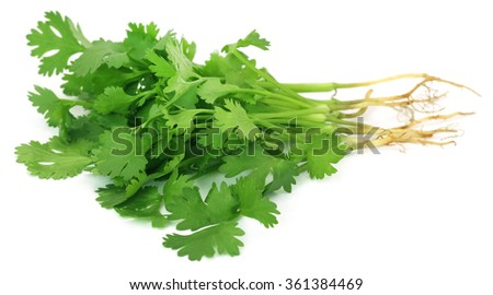 Bunch of fresh coriander leaves over white background - stock photo