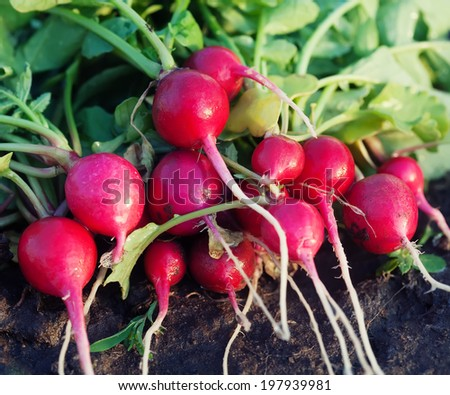 bunch of fresh dirty radishes on garden of raw  - stock photo