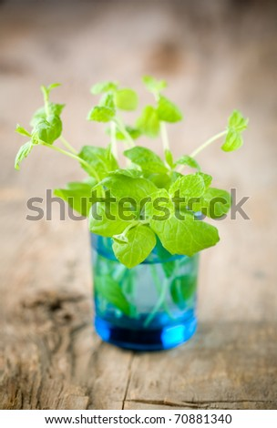 Bunch of fresh mint in blue glass - stock photo
