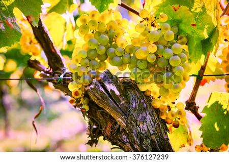 Bunch of fresh organic grape on vine branch. Wine making concept - stock photo