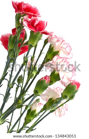 Bunch of fresh pink and white carnations isolated on white background. - stock photo
